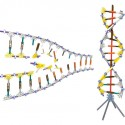 KNEX Education DNA Replications and Transcription Set