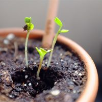 Sprout Growing Pencils