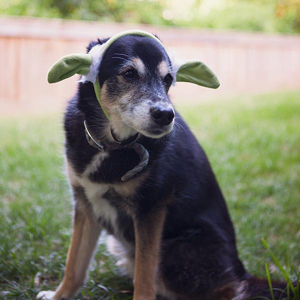 Dog Breeds With Yoda Ears