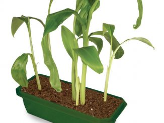Grow Your Own Banana Tree