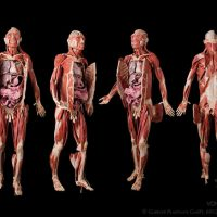 Plastinated Human Body