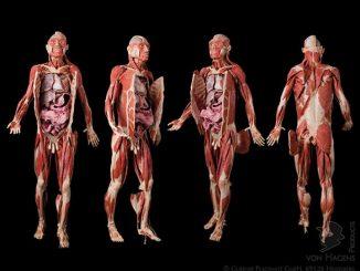 Plastinated Human Body